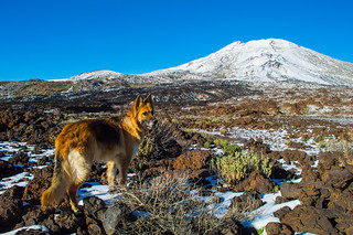 German Shepherd CALA in Teide National Park | by perlaroques