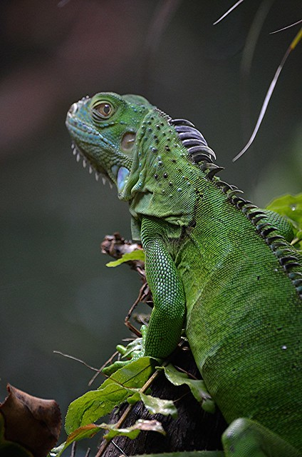 Iguana has turned and is watching my pond