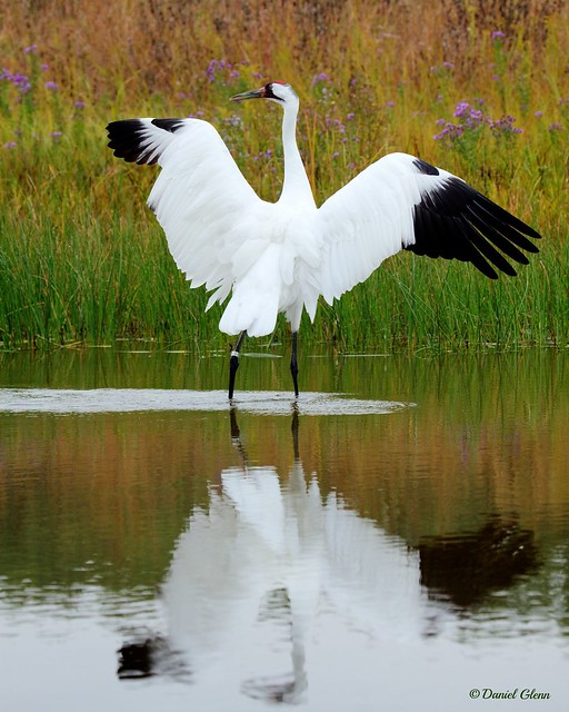 Don't excite the whooping crane...