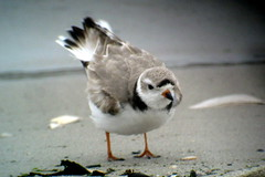 Piping Plover, 3/26/2015, Barnegat Lighthouse State Park, NJ