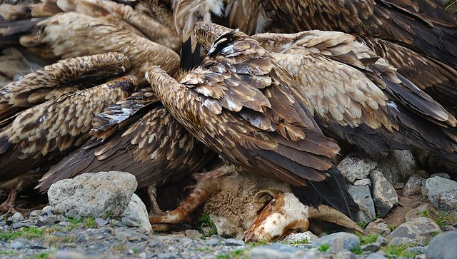 Himalayan Vulture, Flesh and Feathers, Tibet 2014