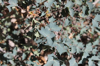 Berberis fremontii -- (Fremont's barberry) | by manoa72