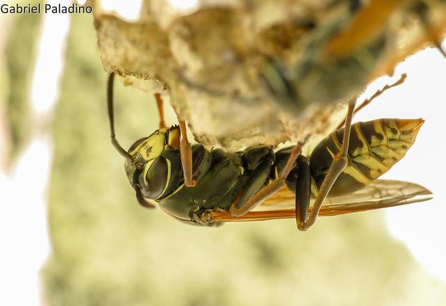 Avispa papelera / Paper wasp | Polistes cinerascens (Vespoidea : Vespidae : Polistinae)
