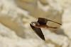 Eleonora's Falcon (Falco eleonorae (Gene, 1839)) by Cyprus Bird Watching Tours - BIRD is the WORD