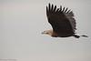 Pallas´s Fish Eagle /Bandhavsörn (Haliaeetus leucoryphus) by Hans Olofsson