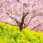 Kawazu cherry:Matsuda mountain-05