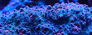 Echinophyllia   by Samy Reef