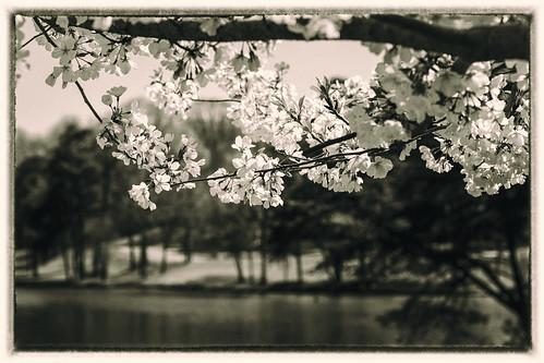 flowers blackandwhite lake monochrome landscape spring northcarolina gastonia heatherlock dorameulman spring2015 altspringmono