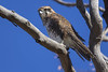 Brown Falcon 2015-04-03 (_MG_2568) by ajhaysom
