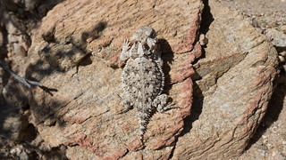 Baby horny toad, m335 | by danlmarmot