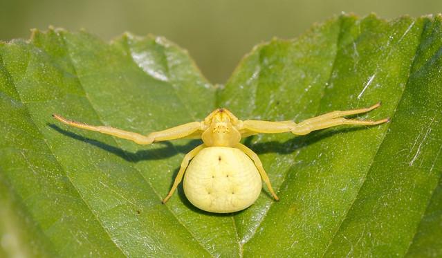Crab spider f