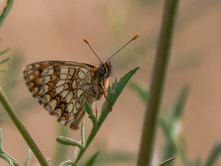 Melitaea parthenoides | by BourrinOman