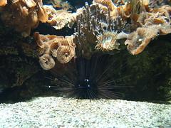 Sea Urchin / Seeigel