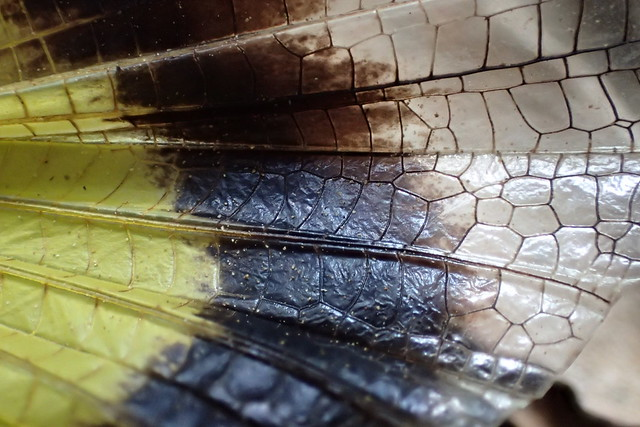 Wing Detail - Yellow Winged Locust