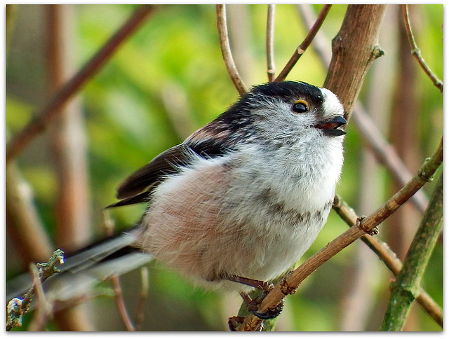Sparrowhawk alarm call!