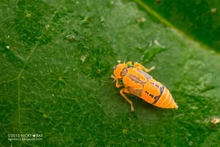 Leafhopper (Cicadellini) - DSC_2713