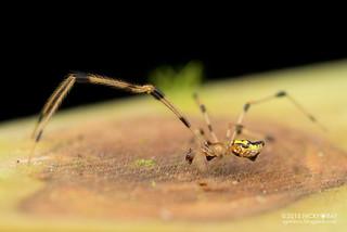 Comb-footed spider (cf. Thwaitesia sp.) - DSC_6564