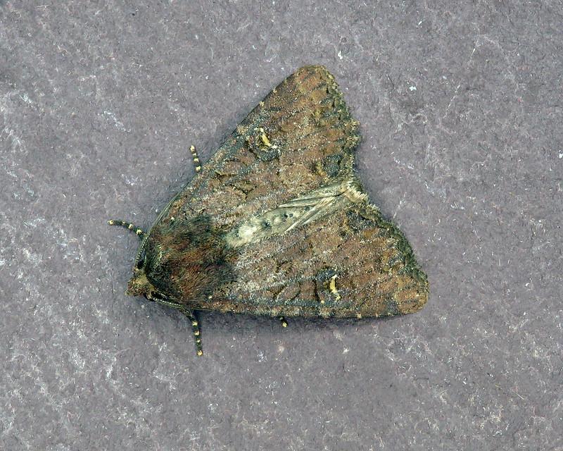 73.169x Common Rustic - Mesapamea secalis agg.