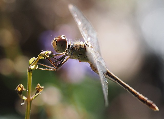 Dragonfly with a parasitic mite