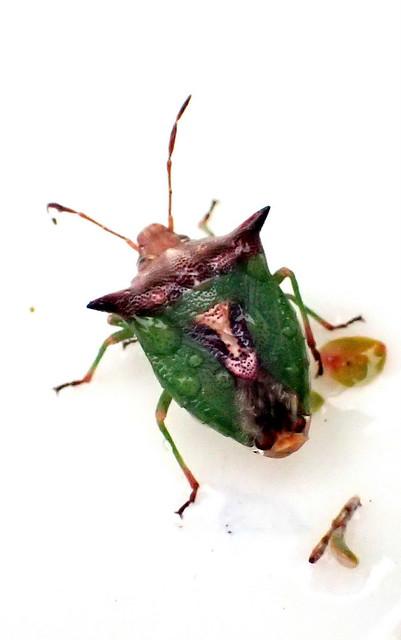 Shield Bug - Pentatomoidea