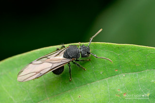 Winged ant (Echinopla sp.) - DSC_3983