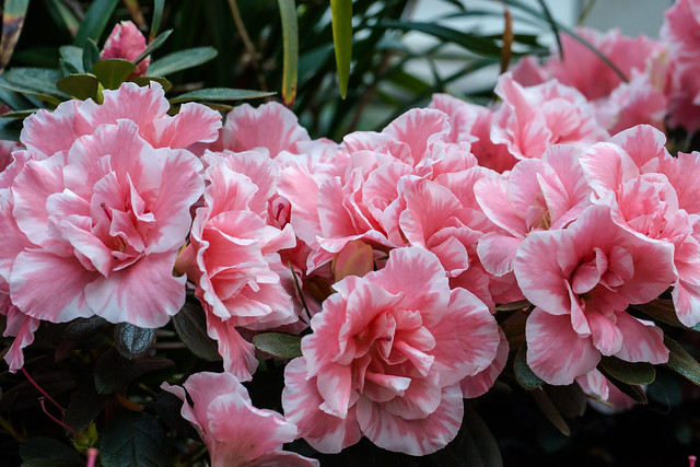 Rosa Azaleenblüten mit weißem Rand