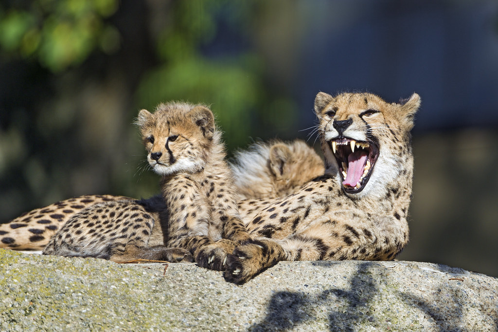Facts about Big Cats