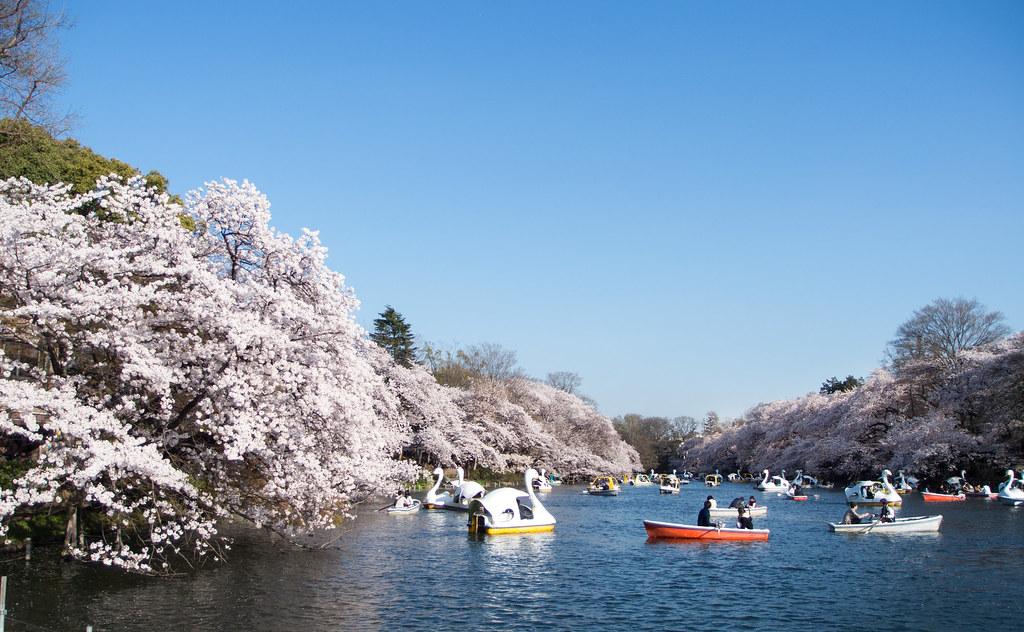 2015 井の頭公園 桜