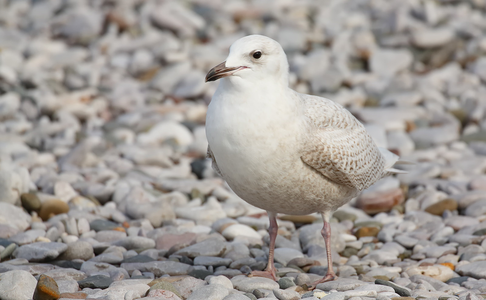 1st Winter Iceland Gull