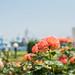 22052016_orange roses