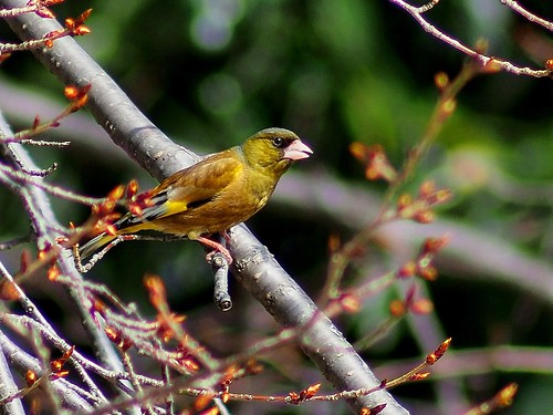 Oriental greenfinch (カワラヒワ) | by Greg Peterson in Japan