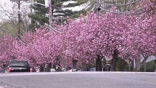 Cherry Blossoms in Cherry Hill, NJ