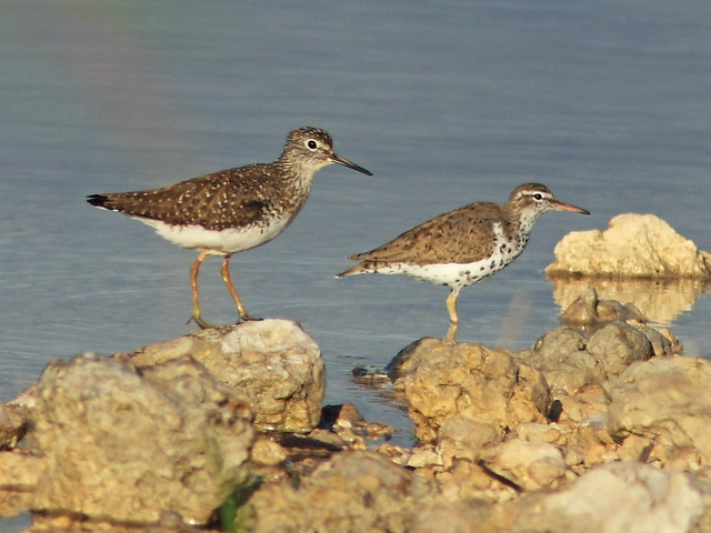 Solitary and Spotted Sandpipers 20150416