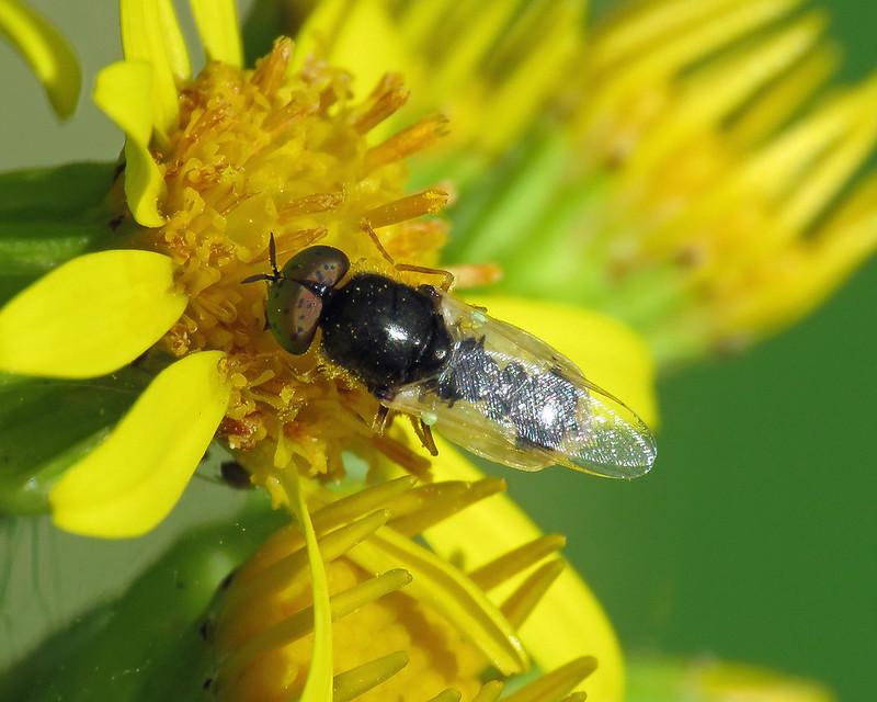 Common Green Colonel - Oplodontha viridula