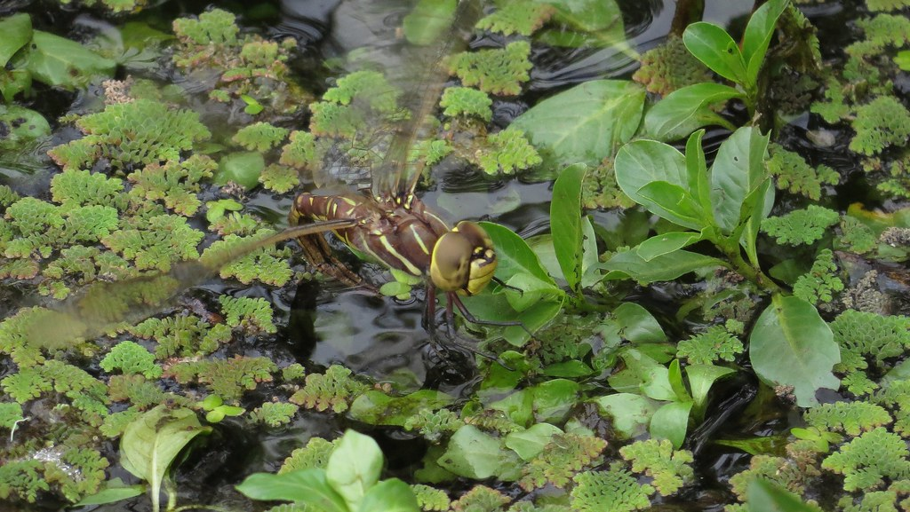 Female Blue-spotted Hawker ovipositing