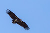 Lappet-faced Vulture by rhysmarsh
