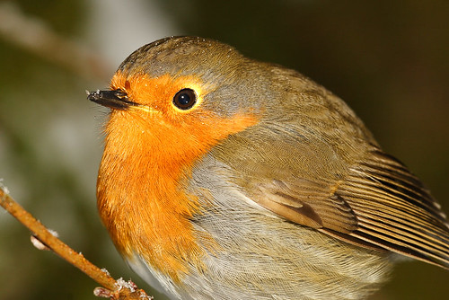 Robin Roodborst Bird close-up | by stefanwesteneng