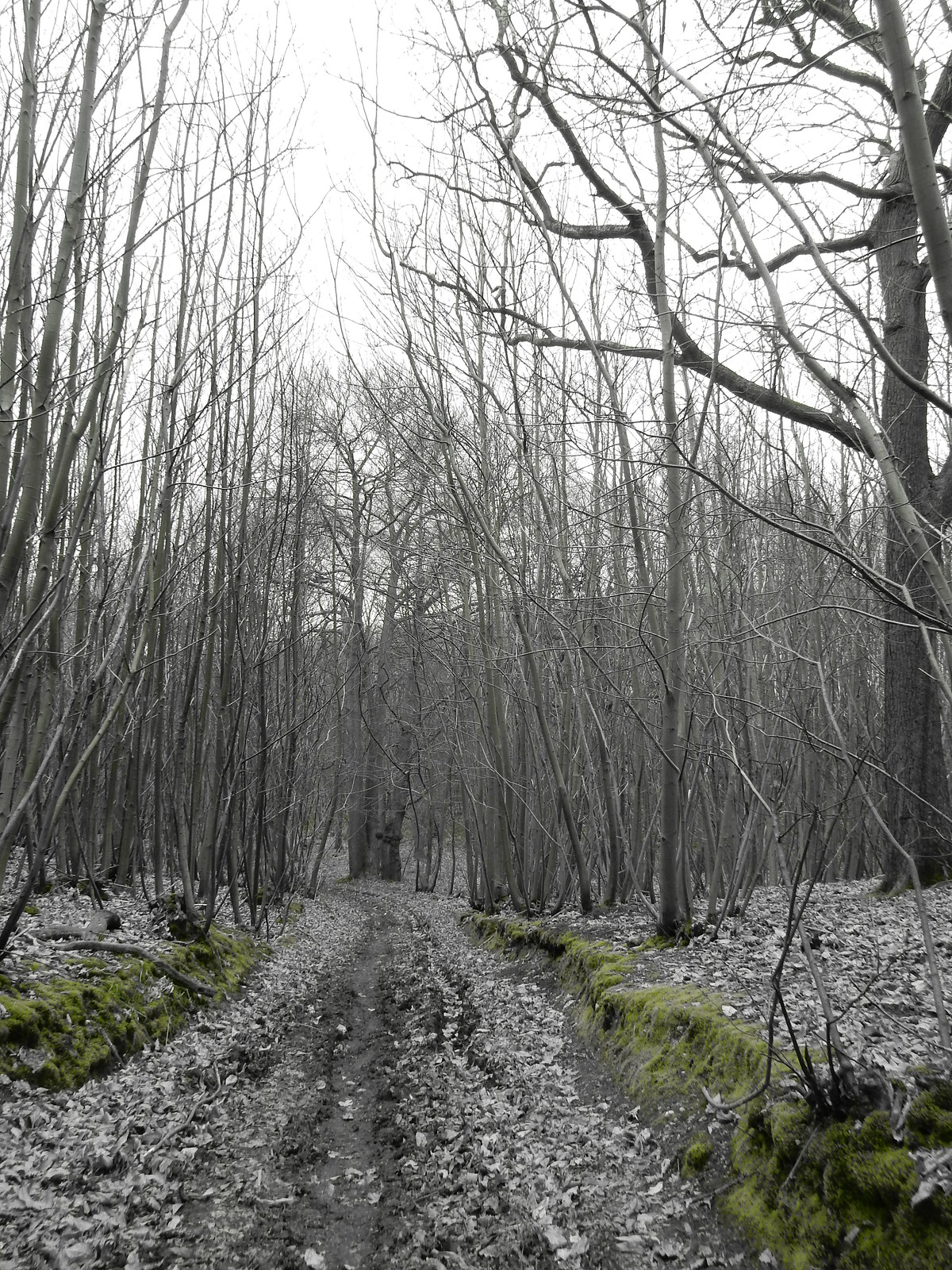 Path through coppice Sturry Circular (selective colour feature)