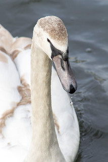 Swan on the lake | by Blampish