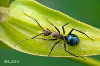 Golden blue ant (Polyrhachis sp.) - DSC_3433