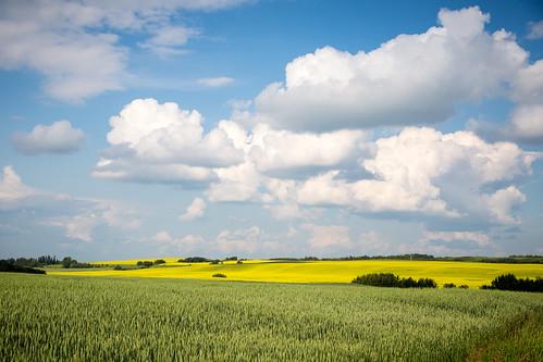 blue summer canada green yellow clouds rural alberta cumulus developed canola twohills