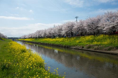 桜 cherryblossom 日本 埼玉県 青葉 久喜市