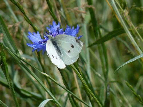 Klein koolwitje op Vlinderweide
