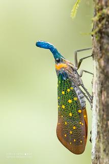 Lantern bug (Pyrops whiteheadi) - DSC_3952b | by nickybay