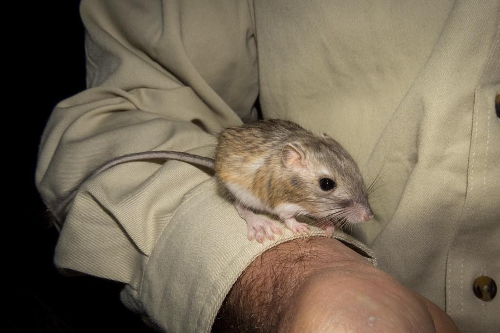 Kangaroo Rat Dipodomys Sp Nye County Nevada Zachary Cava Flickr