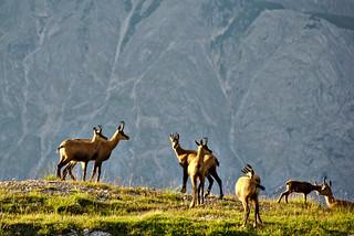 A herd of chamois | by v923z