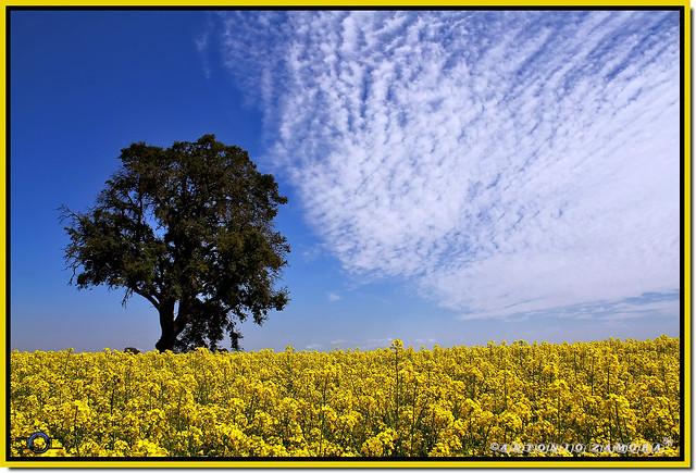 Marea Amarilla