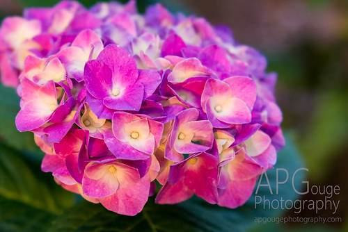 flowers flower macro nikon pretty purple bloom hydrangea d800 nikond800