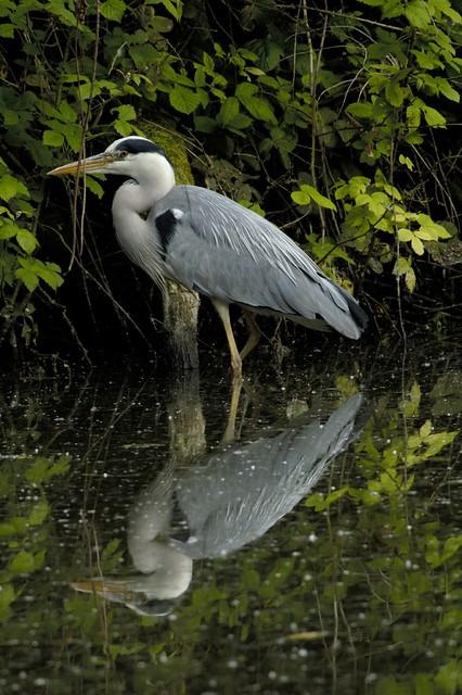 Grey heron, canal