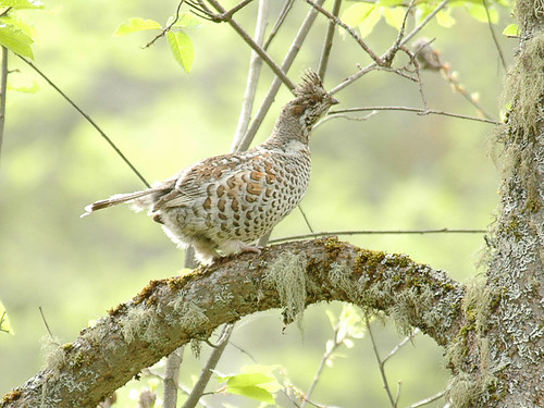 Hazel Grouse | by Sergey Yeliseev
